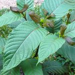 Different Types of Kratom
